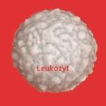 Weißes Blutkörperchen: Leukozyt