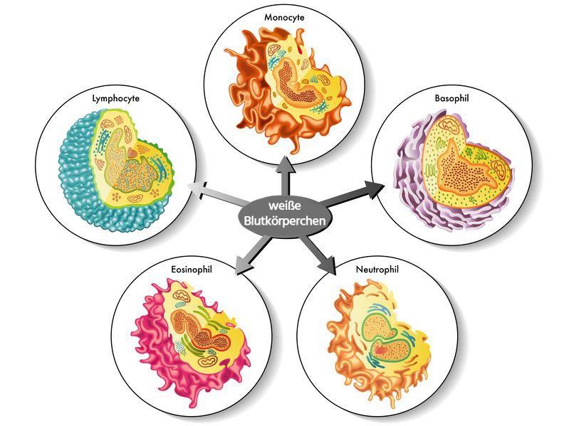 Leukozyten sind weisse Blutkörperchen