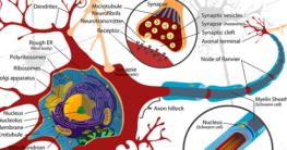 Die Ursachen von einer Multiplen Sklerose